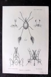 PZS 1897 Antique Insect Print. Eatonia Scopulifera